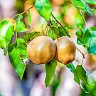Beautiful Fresh Pears.. by buddybetsy