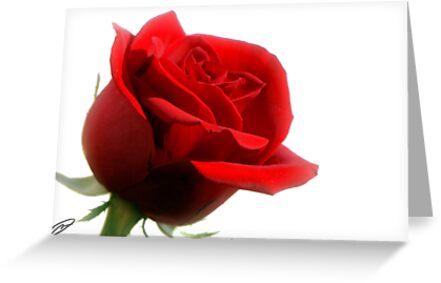 Rose on White by DavidWayne