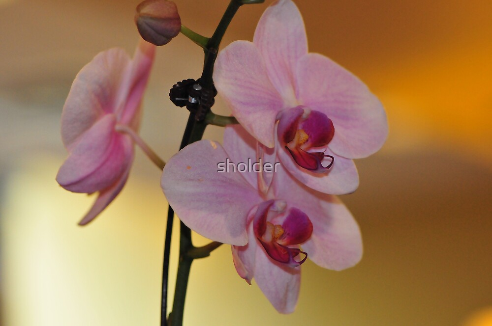 Pretty Pink Petals by sholder