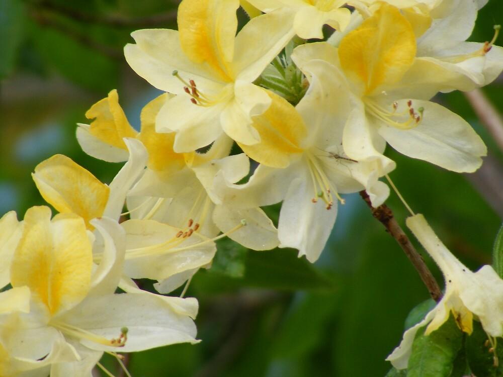 more fantastically beautiful azalea flowers by gaylene