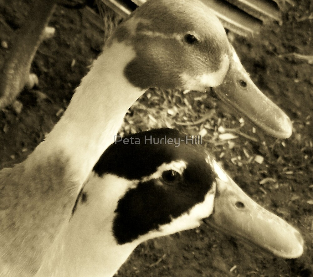ducks by Peta Hurley-Hill