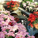 Poinsettia Display by Braedene