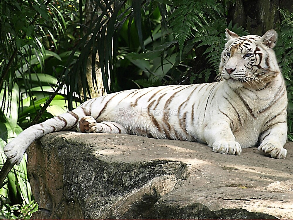 White Tiger (female) by Bev Pascoe