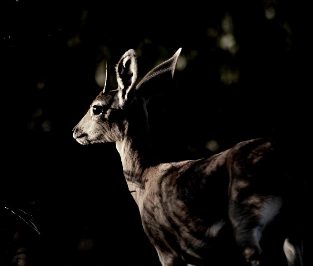 Steenbuck - Kruger National Park by Louw Agenbag