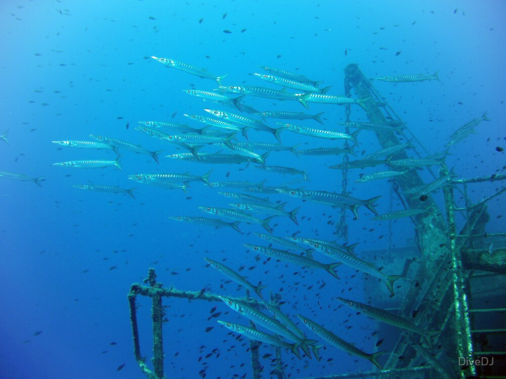 Barracudas all over the Faroud by DiveDJ