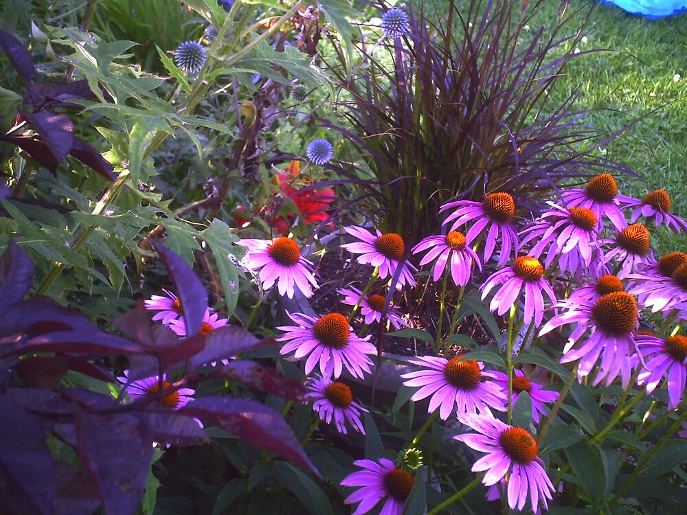 Purple Coneflower  by grannyjune