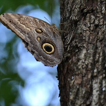 Large Owl Butterfly by Sauropod8