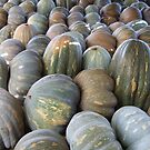 Maltese Pumpkins by DeborahDinah