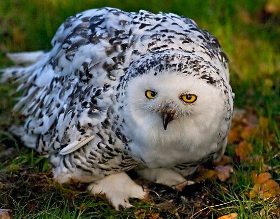Mrs Snowy Owl by Krys Bailey