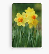 Shropshire Daffodils  Canvas Print
