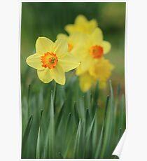 Shropshire Daffodils  Poster
