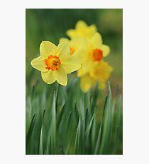 Shropshire Daffodils  Photographic Print