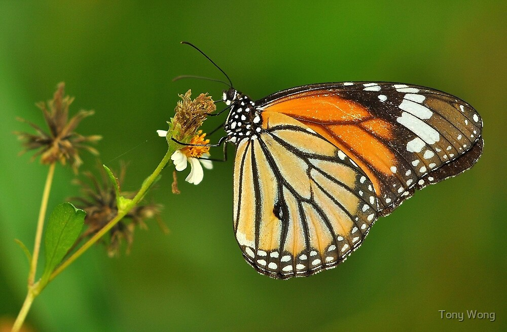 Tiger Butterfly by Tony Wong