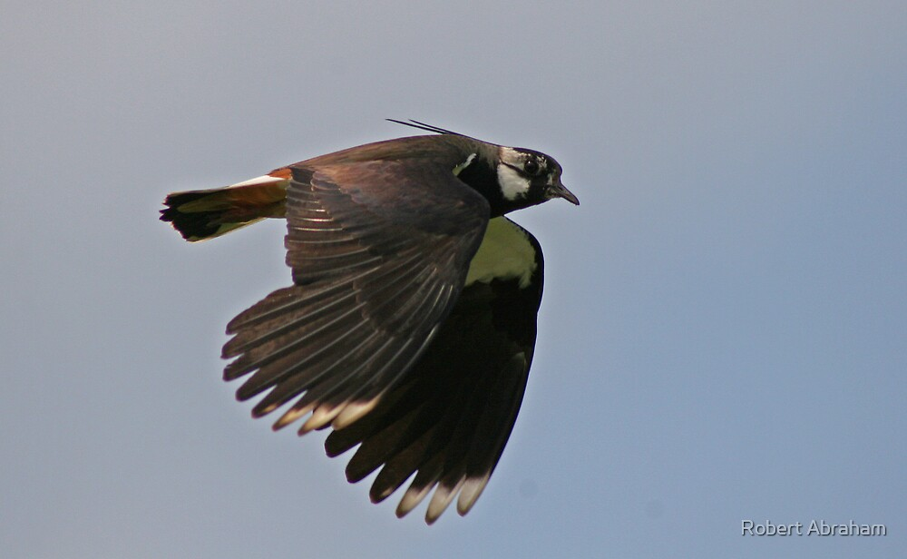 Flight Of The Lapwing by Robert Abraham