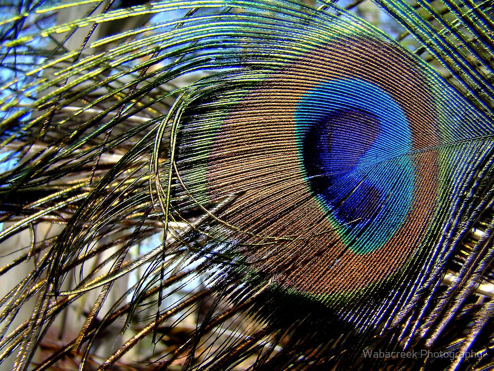 Close-up of Peacock feather by Jocelyne Phillips