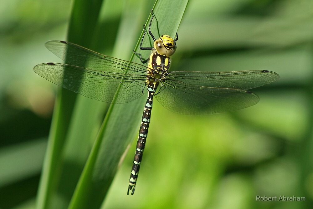 Southern Hawker Dragonfly by Robert Abraham