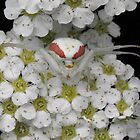 Crab Spider by Tracy Wazny