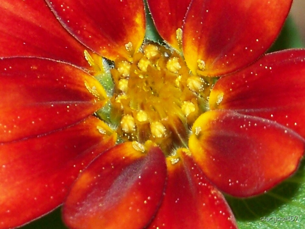 Zinia by stacyshell67