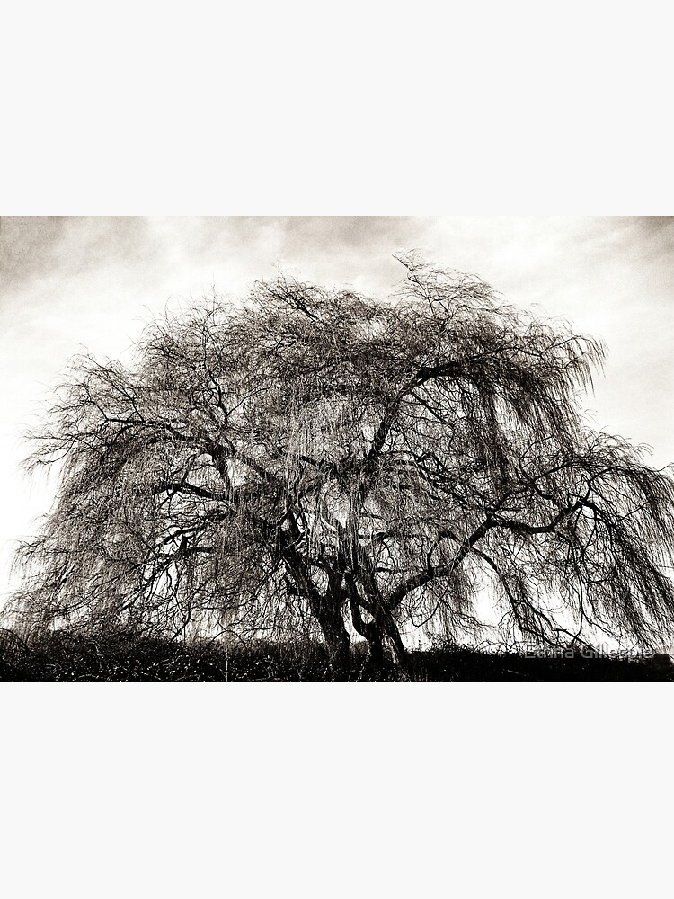 Willow Tree  by ethna