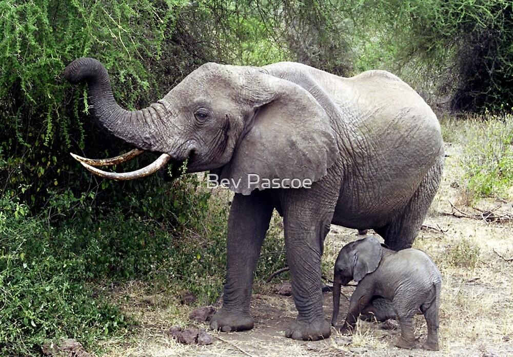African Elephant & Calf - Tanzania, Africa by Bev Pascoe