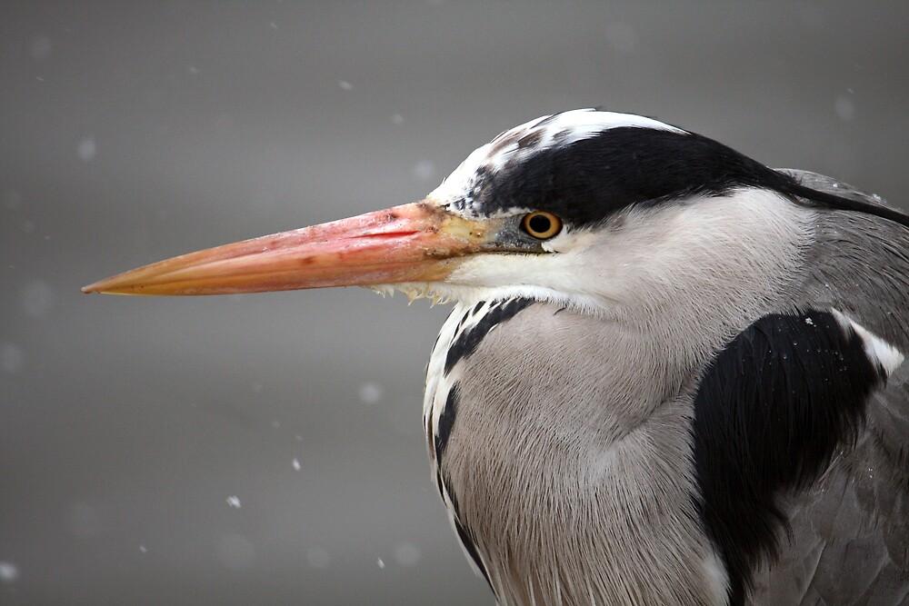 Heron by Karen Millard