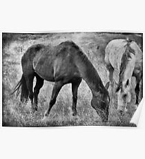 EQUINE FRIENDS BLACK AND WHITE Poster