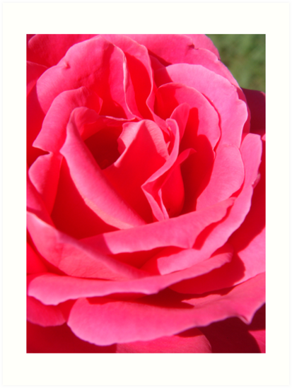 Pink Rose by nightbird81