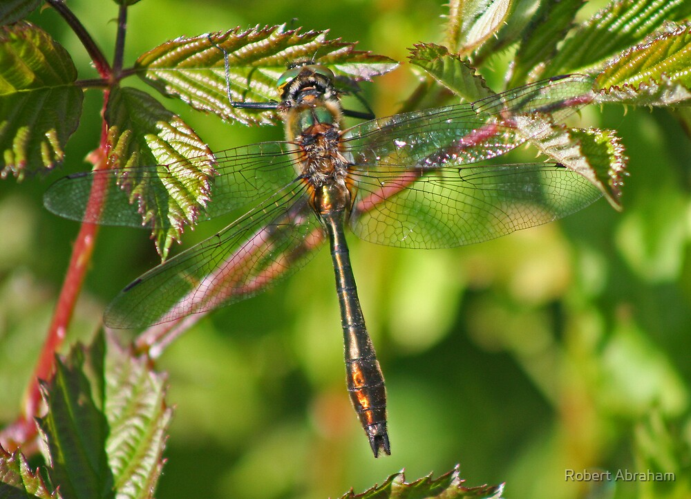 Downy Emerald Dragonfly by Robert Abraham