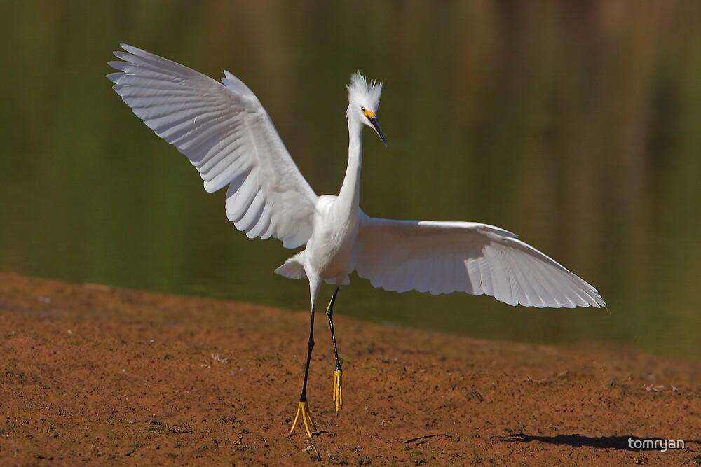 Snowy Egret #2 by tomryan