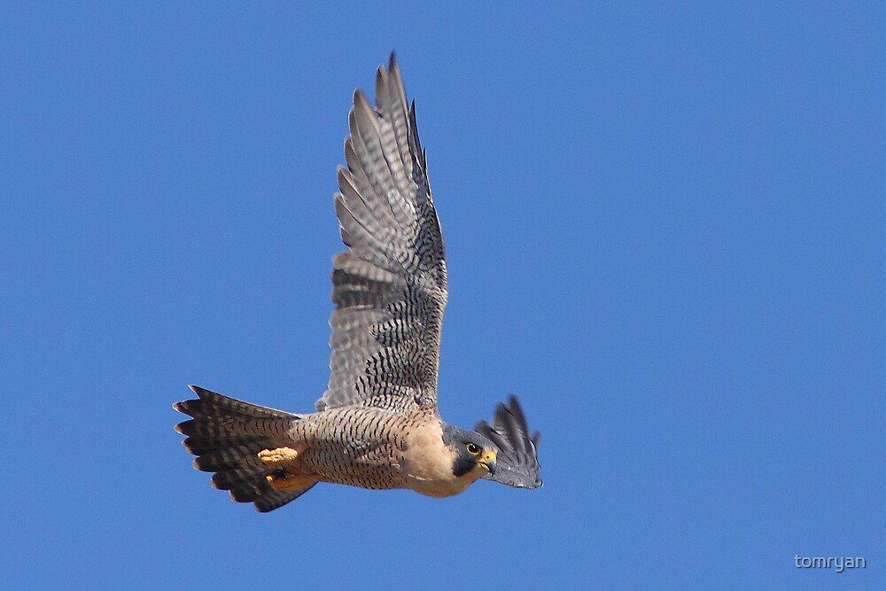 Peregrine Falcon  by tomryan