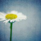 Daisy by Jill Ferry