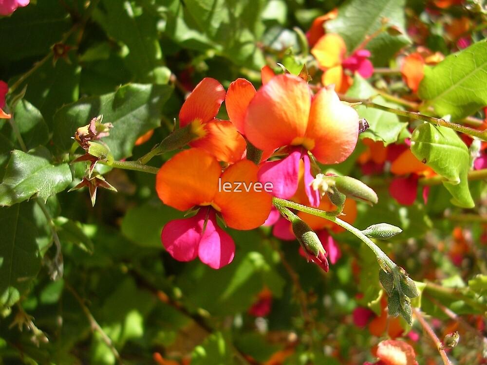 Holly Flame Pea, Chorizema ilicifolium by lezvee