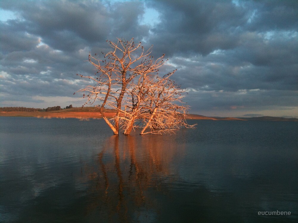 Eucumbene tree takes center stage by eucumbene