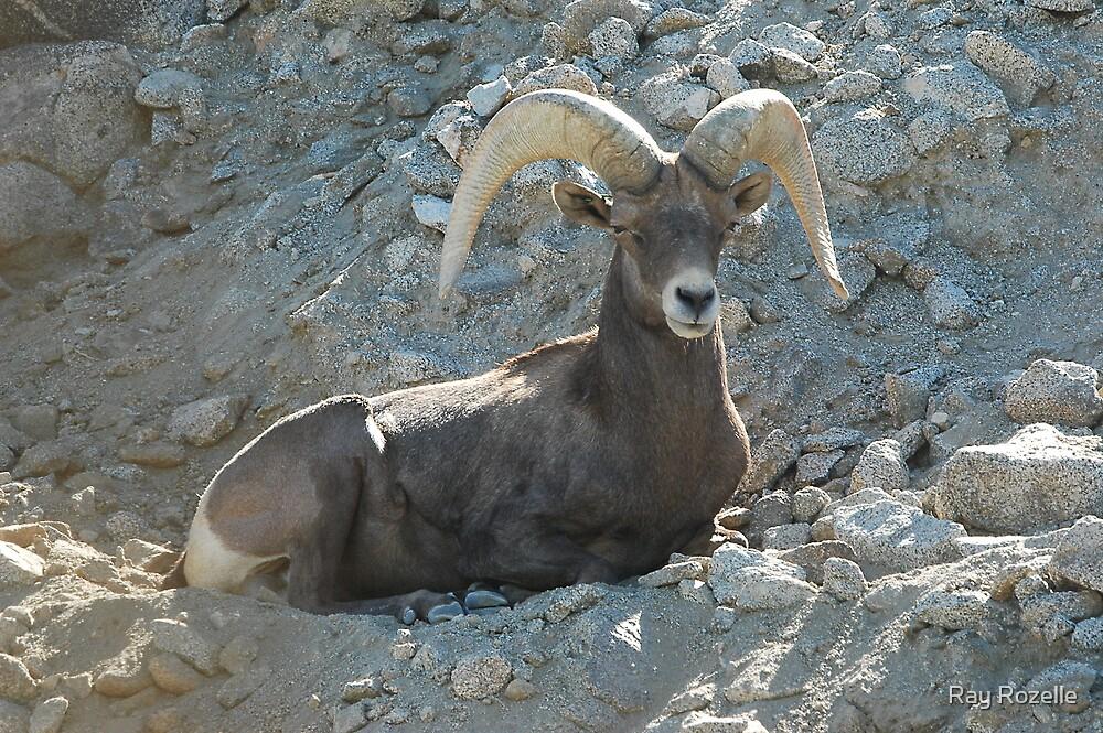 Desert Longhorn Sheep by Ray Rozelle