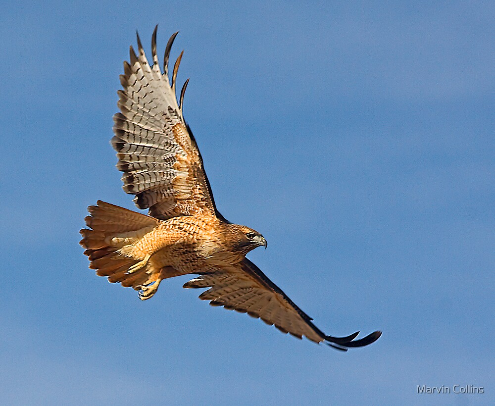 Red-Tailed Hawk by Marvin Collins