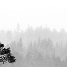 23.11.2017: Lonely Pine Tree in Snowfall by Petri Volanen