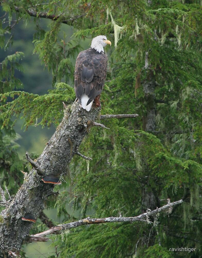 Bald Eagle by ravishtiger