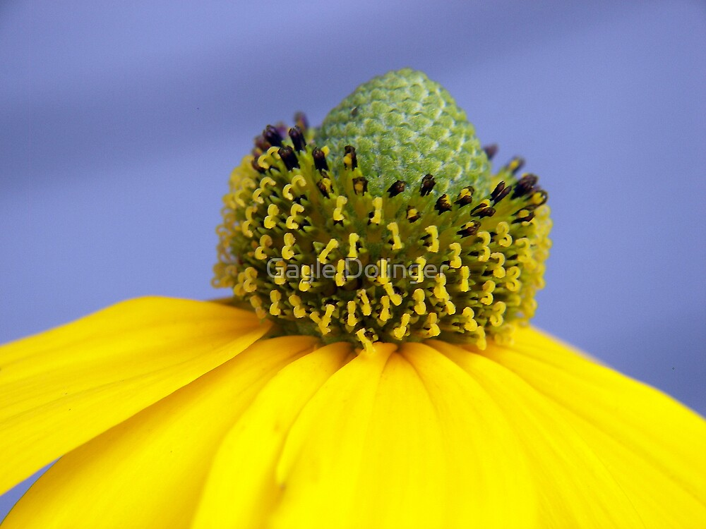 Yellow Coneflower by Gayle Dolinger