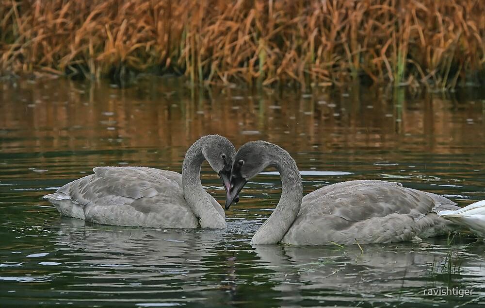 Young swans by ravishtiger