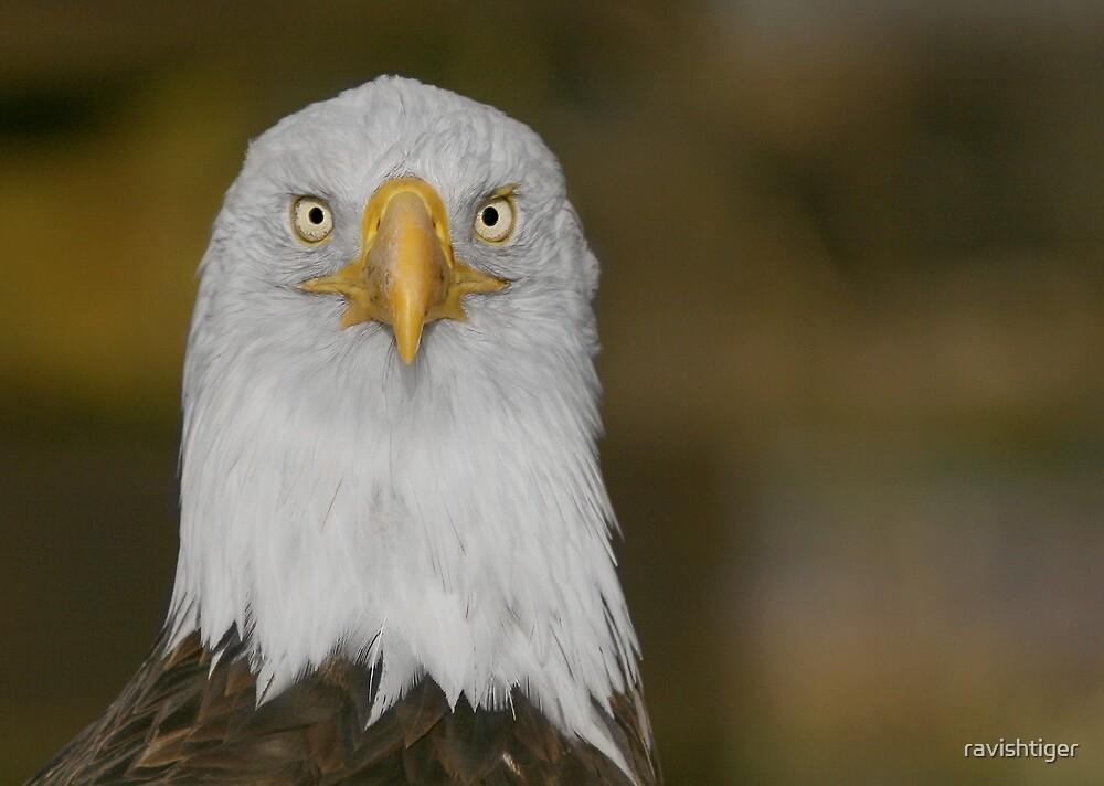 Eagle by ravishtiger