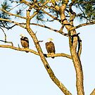 Two Bald Eagles In a Tree by Chloe Garfield