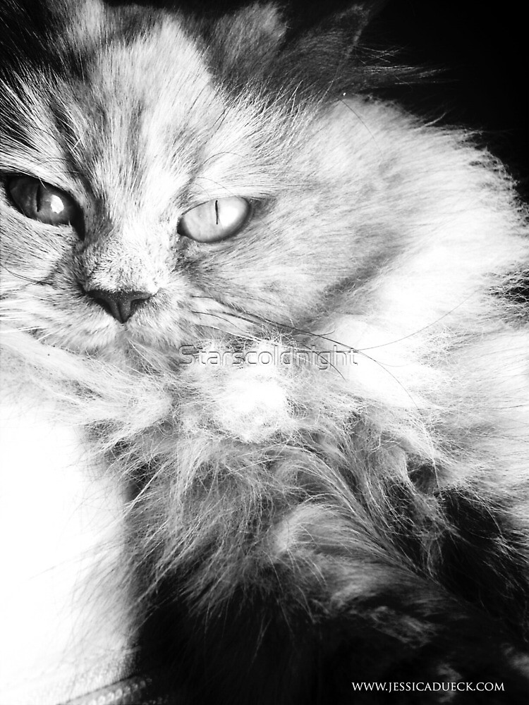 Persian cat portrait BW by Starscoldnight