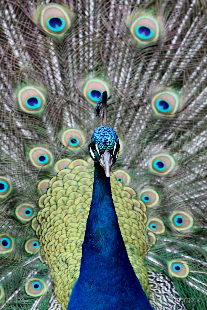 Peacock by margotk