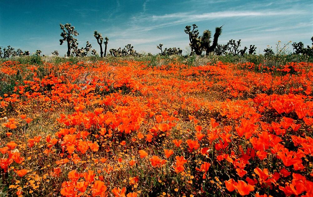 Explosion of Poppies by steveberlin