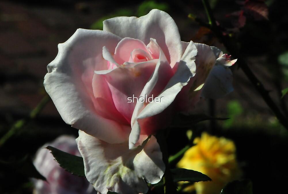 Pink Sensation by sholder