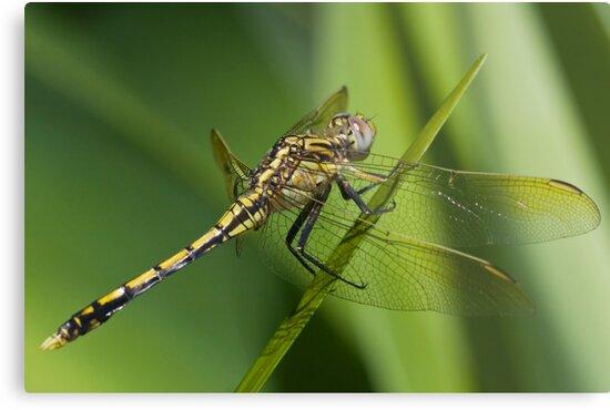 Dragon Fly by Beth  Morley
