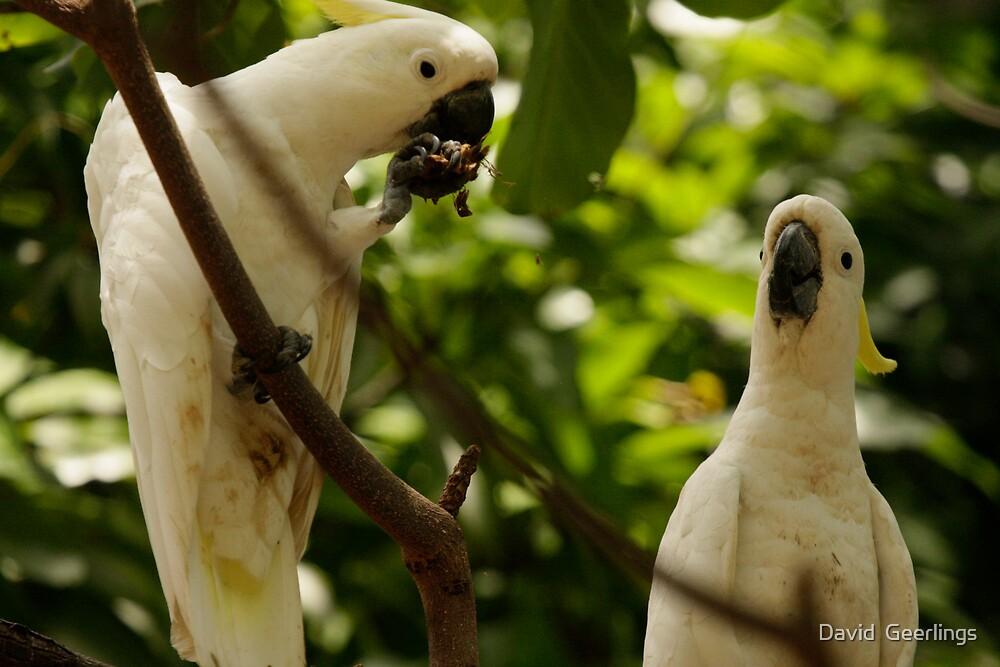 Cockatoos feeding in a tree by David  Geerlings