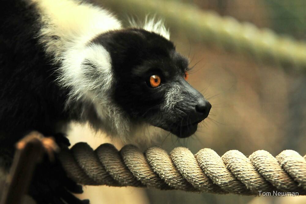 Prowling Lemur by Tom Newman