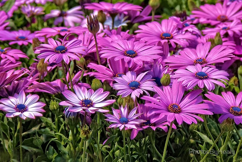 Osteospermum by Photos by Healy