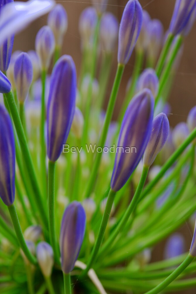 Lilac Blue! by Bev Woodman